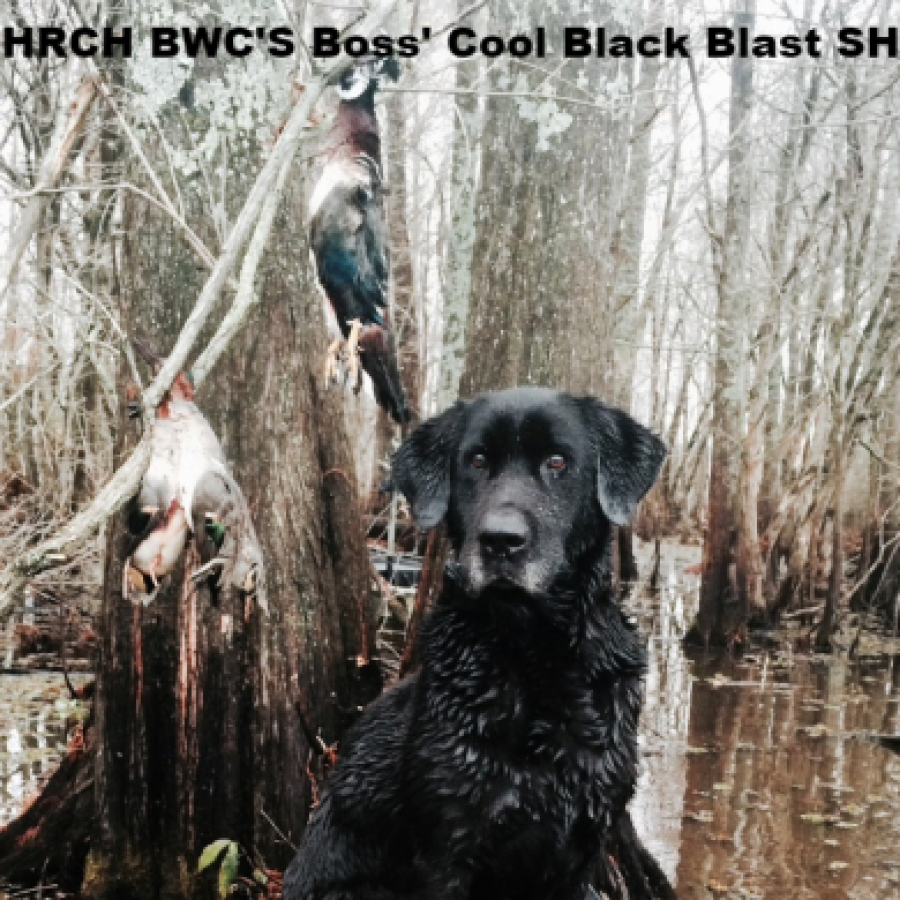 HRCH BWC'S Boss Cool Black Blast SH